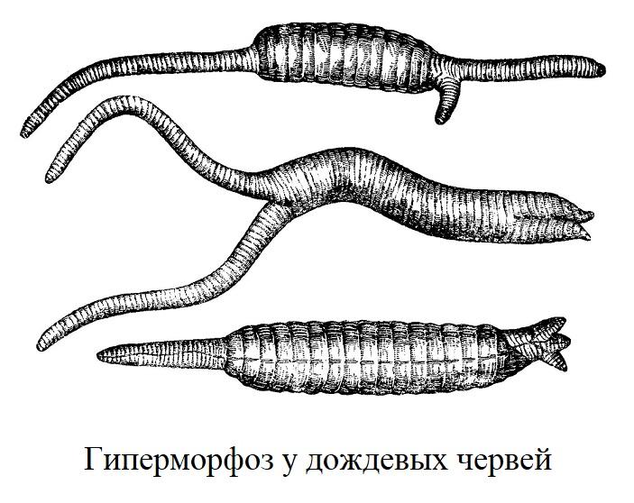 Гиперморфоз у дождевых червей