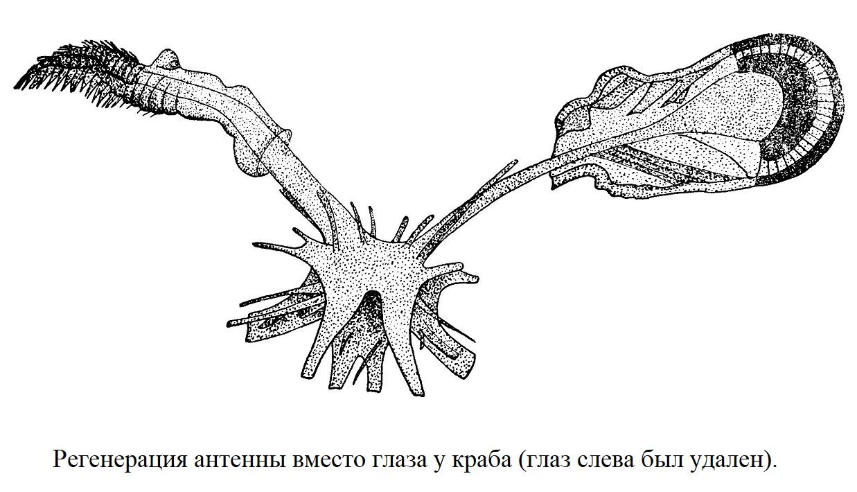 Регенерация антенны вместо глаза у краба (глаз слева был удален).