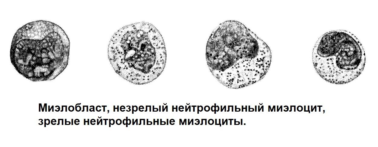 Миэлобласт, незрелый нейтрофильный миэлоцит, зрелые нейтрофильные миэлоциты.